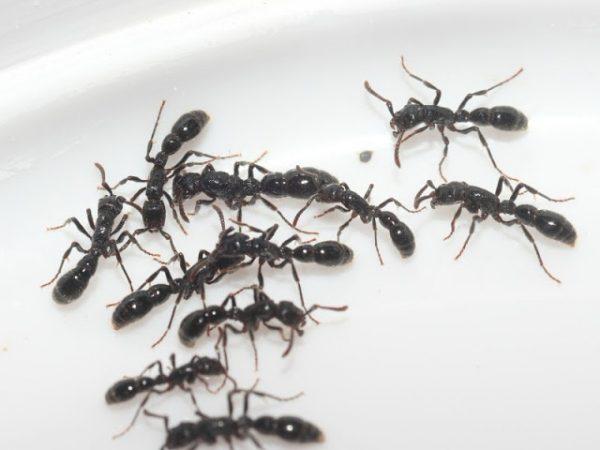 Cerapachys sulcinodis
