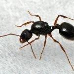 Aphaenogaster japonica