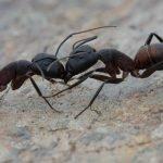 Camponotus-cruentatus.jpg