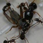 Camponotus-largiceps.jpg