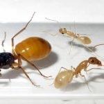 Camponotus-turkestanus.jpg